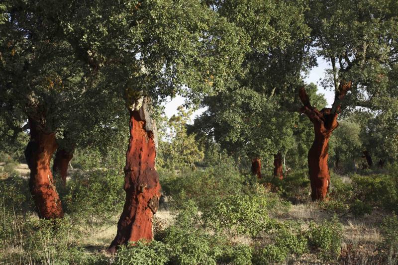 El alcornocal de Valdelosa: el gran último alcornocal de Castilla y León